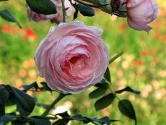 今年の秋バラ鑑賞は大人なたしなみ?──京成バラ園で思ったこと(3)イングリッシュローズから開始した後半