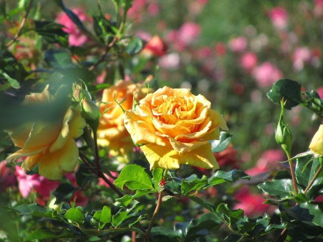 「たしなみ(嗜み)」<br />(1)たしなむこと。すき。このみ。特に、芸事などに関する心得。<br />(2)心がけ。用意。覚悟。狂、止動方角。<br />(3)つつしみ。遠慮。<br />(広辞苑より引用)<br /><br />緑や赤い葉っぱに色とりどりのバラが点在する、ちょっと渋い薔薇絨毯。<br />それが今シーズンの京成バラ園の秋バラの姿かもしれません。<br />さすがの京成バラ園でも、秋バラのときは春バラのようなカラフルさは望めないものなのね、と思ったら、去年2009年の写真をひっくり返すと、春には及ばなくても、十分、多彩なバラの錦に感激していました。<br />今年は夏の猛暑が長引いたから、秋バラはちょっと不調なのかな。<br /><br />関連の旅行記<br />「秋バラ咲き誇る京成バラ園へ(3)万華鏡のように多彩なローズガーデン」<br />http://4travel.jp/traveler/traveler-mami/album/10391631/<br /><br />秋バラの魅力は、春バラよりも色が濃くて香りが強いことです。<br />でも実はこれは、本の受け売り。<br />いわれてみればそうかも、と思うくらいで、実際に春バラと秋バラを同時に比べられないので、はっきりと実感できたわけではありません。<br />それよりも、今回の2010年の秋バラの京成バラ園を訪れて思ったこと。<br />秋バラの魅力を十分に味わうには、ひょっとしたら、コーヒーの苦味、お茶の渋さを知る大人の「たしなみ」がある方がよいかもしれません。<br />少なくとも今シーズンは。<br /><br /><2010年秋バラ詣の京成バラ園の旅行記のシリーズ構成><br />□(1)バラ以外とローズヒップなどの写真を集めたプロローグとエピローグ<br />■(2)モダンローズを中心に回った前半<br />□(3)イングリッシュローズから開始した後半<br /><br />京成バラ園公式サイト<br />http://www.keiseirose.co.jp/<br /><br />京成バラ園に到着して、まずは真ん中の整形式庭園のモダンローズをターゲットにしました。<br />前回、ここを外した覚えがあったからです。<br />それに秋バラといったら、整形式庭園に多く見られる、どちらかというと原色に近い強い色彩の、高芯咲きや剣弁咲きのバラがイメージに合うと思ったからです。<br /><br />ところが、花壇全体が満開を迎えたということは、全ての花がみな同じ開花のタイミングのわけがないので、咲きかけの姿が好きな私にとって、咲きすぎやピーク過ぎで残念な花もたくさんあることになります。<br />開花状況が被写体として耐えうる花を見つけても、よく見ると、一部の花びらが縮れていたり、赤いポツポツがあったりして、ちょっと痛々しい花も多かったです。<br />遠くの花をズームして撮ったので、撮っているときにはポツポツに気づかず、撮った写真をカメラの液晶画面で拡大表示してみたときに、ああ、と残念に思うこともたびたびありました。<br /><br />だけど空を見上げると。<br />なんとすばらしい秋の青空でしょう。<br />光がさんさんとバラ園に降り注いでいて、気温もだいぶ秋らしくなった今、人にもここちよい光のシャワーです。<br />バラの状態が必ずしも理想どおりでなくても、太陽に照らされたバラ園を心の目で見回すと、しみじみと幸せに満たされます。<br /><br />ないものねだりをしても仕方がありません。<br />今回は鈴なりのバラやバラの錦はそう望めないようですが、過去にそういう姿を満喫して写真も撮れたからよしとしましょう。<br />求めるレベルをちょっと下げて、バラの花、花、花……な写真ばかりを追い求めるのではなく、全体の雰囲気がよい写真や、花数は少なくてもできるだけ好みに近い写真の方をめざそうではないですか。<br /><br />───そんな風に思ったせいか、あとから撮った写真を見直してみると、休憩を取るまでの前半のバラの写真は、被写体の花の選択にやや妥協したものが多くなってしまったようです。<br />京成バラ園はとにかく広いし、今回は夜に観劇を控えていたため閉園時間までいられず、撮影に費やせた時間は正味約3時間ぽっちだったのだから、うーん、とうなる状態の花はさっさと切り捨てても、いくらでも被写体があふれていたんでした。<br />なにしろ、1,000品種7,000株もあるんですから。<br />気づいたのは休憩後の後半の撮影時でした。<br /><br /><これまでの京成バラ園の旅行記><br />2010年5月2