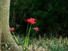 2010秋、下鴨神社(4):10月1日(4):糺の森、瀬見の小川、彼岸花、表参道、古木のスカート