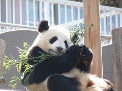 パンダと白熊の赤ちゃん見学