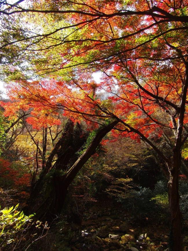 11月の飛び石連休の初日は、天気のよい場所へ紅葉を見にいくことにしました。<br />確実に晴れていそうな場所は新潟県でしたが、翌日は千葉県で珍蝶を見る段取りがあって、<br />遠路茨城県の方まで足を伸ばしました。<br />紅葉サイトで状況を確認して、花貫渓谷と袋田の滝に行くことにしました。<br />カーナビで袋田の滝をセットすると、住んでいる蓮田市からは、東北道で行くのかと思いきや、<br />外環まで戻って常磐道で、高萩インターを降りろとの指示でした。<br />外環は渋滞していたので、16号沿いに走り柏インターより常磐道に入りました。<br /><br />このルートだと、先に花貫渓谷の観光になります。<br />前編で花貫渓谷、後編で袋田の滝を紹介します。