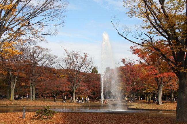 秋も深まり、東京の紅葉も見頃となりました。<br />前夜からの強い雨も、夜明けとともに止み、天気予報では晴れ間も出るとのこと。<br />テレビを見ていると代々木公園の紅葉が紹介され、これは見に行かねばと出掛けることになりました。