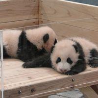 ☆可愛すぎます双子の赤ちゃんパンダ☆「アドベンチャーワールドの幸せパンダ・ファミリー写真集」