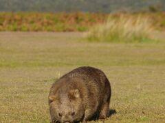 タスマニアで野生のウォンバットに会おう(1) イーストコーストとナラウンタプ編 2010年11月