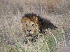 ライオンのハンティングとハネムーーン♪♪ inセレンゲティ