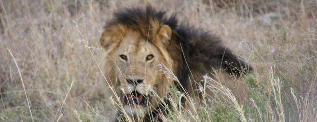 ライオンのハンティングとハネムーーン♪♪...