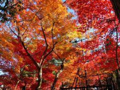 日本の紅葉を巡る旅から一(7)一日半の京都紅葉巡り