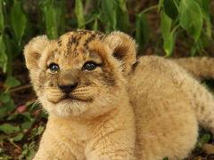 南部アフリカvol.4 生後2カ月のライオンの可愛さに悶絶&モーニングサファリ