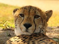 南部アフリカvol.6 チーターと歩く シュクドゥ私営保護区最終日