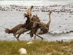 南部アフリカvol.7 ケープ半島1日観光(喜望峰自然保護区他)