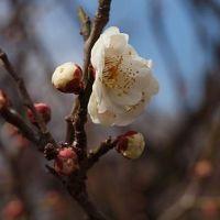 世田谷区 梅が丘 羽根木公園 梅まつり 上