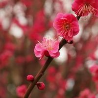 世田谷区 梅が丘 羽根木公園 梅まつり 下