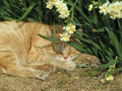 城ヶ島公園の日本水仙 そして、たくさんのネコたちは…