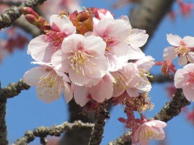 2月27日、陽気に誘われて、午後0時半に自宅を出発し、皇居・東御苑の桜を見るために東京へ向かった。<br />午後1時45分に皇居・東御苑に到着し、約二時間、桜、梅、その他の花を見るために過ごした。<br />この日はかなりの人出で桜の咲いている場所では写真撮影する人が多かった。 また、梅林坂周辺でも観梅のためにかなりの人が訪れていた。<br />この旅行記としては①大手門~富士見櫓~桜の島前迄、②桜の島~梅林坂~大手門の二部に分けてまとめることにした。<br /><br />行程、歩行距離、歩行時間は以下の通り。<br />(行程)<br />上福岡ー池袋ー東京ー大手門ー富士見櫓ー野草の島ー富士見多聞ーばらの島ー桜の島ー梅林坂ー二の丸庭園ー大手門ー東京駅ー池袋ー上福岡<br /><br />(歩行距離)約3キロ<br />(歩行時間)約2時間<br /><br /><br />*写真はカンザクラ