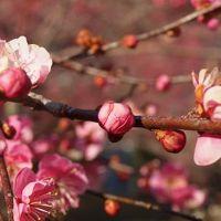 青梅、吉野梅郷へ。三分咲きの梅を楽しむ旅。