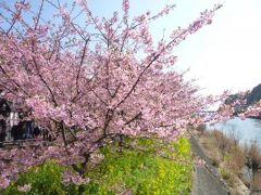 春一番!河津桜と優雅な伊東温泉の宿泊とグルメ Vol2(第1日目:午前) 美しいピンク色の河津桜が満開♪