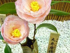 春一番!河津桜と優雅な伊東温泉の宿泊とグルメ Vol8(第2日目:午後) 小室山のつばき園♪