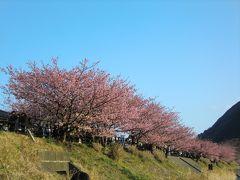 満開☆河津桜