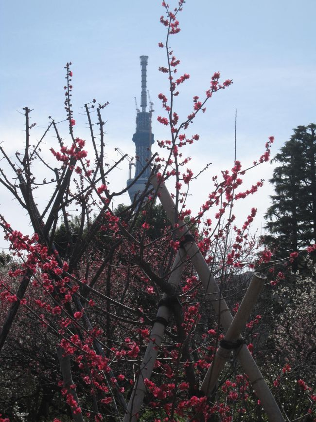 三ノ輪駅を出発して、竜泉を巡り、一葉記念館を訪ね、吉原を歩き、土手の伊勢屋で天丼をいただきました。<br />http://4travel.jp/traveler/19563147/album/10550529/<br /><br />天丼でお腹いっぱいになった後は、向島めざして歩きました。<br />時折、見え隠れする東京スカイツリーを眺めながら、隅田川、向島百花園へ。<br /><br />向島百花園では、梅とスカイツリーの共演です。