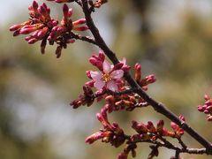 八景島シーパラダイス オカメザクラは、やっと開花。ふらっと、梅や鳥を見て来ました。2011年3月6日