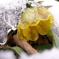 山里に春をつげる妖精・福寿草まつり