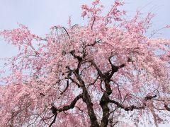 小さな旅 小手指のしだれ桜と春の花 Shidarezakura(weeping cherry) in Kotesashi