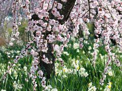しだれ梅と日本水仙のコラボ(和泉市リサイクル公園)
