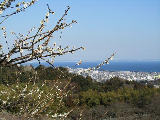 相模湾が遠くに見えます。<br />湾曲したようすが、ひと目でこのように。<br /><br />ここは、小田原の高台にある「辻村植物公園」<br />梅と海とのコラボはいかが〜。<br /><br /><br /><br />辻村植物園は、辻村農園と呼ばれていて、<br />最初は小田原の駅のところにあったそうです。<br />それが、東海道線が国府津から熱海に延びるとき、<br />ここの場所に移転したそうです。大正8年のとき。<br /><br />広い梅園を中心に外国産の木もある静かなところです。<br /><br /><br />只今、右側の地図が「辻村植物園」と違ったところを表示されています。<br />正しい地図は下記の場所です。(小田川原厚木道路 荻窪インターの近く)<br />http://www.city.odawara.kanagawa.jp/public-i/park/park-etc/t-syokubutu.html(小田原市のHPより)<br />どなたかに、お訪ねの際には「わんぱくランド」といわれたほうが、わかりやすいかもしれません。