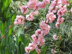 2011春、名古屋市農業センターの枝垂梅(1)枝垂梅の街路樹、竹林と枝垂梅