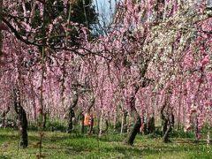 2011春、名古屋市農業センターの枝垂梅(2)枝垂梅、マンサク、サンシュユ