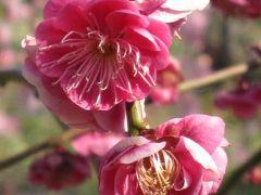 2011春、名古屋市農業センターの枝垂梅(3)玉垣枝垂、満月枝垂、呉服枝垂、藤牡丹枝垂、緋の司枝垂