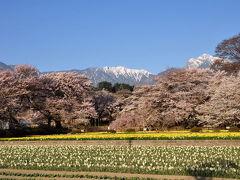 神代桜2011