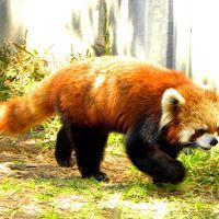 春のレッサーパンダ紀行【1】 宮崎市フェニックス自然動物園