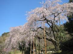 里山の枝垂桜 (波佐見町)