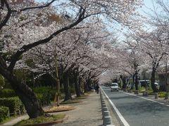 春爛漫 桜めぐり~♪ 豊川稲荷