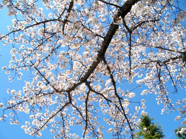 桜を求めて「佐賀県庁」周辺を散策してきました。天気に恵まれ、最高の撮影日和となりました。