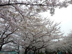 東京の桜めぐり♪ Vol4 隅田川と桜♪