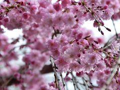 桜満開の国立 一橋大学 伊東忠太の世界
