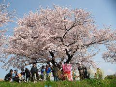 佐奈川堤で桜と菜の花