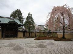 【京都桜2011】 方丈前庭の枝垂れ桜、満開! 「高台寺」 2回目