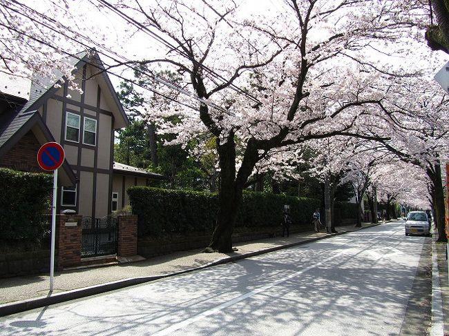 小田原の西海子小路は昔、武家屋敷があったところだそうです。<br />たしかにそういう雰囲気が、今も感じる落ち着いた通り。<br /><br />ここは、桜並木が美しい。<br />満開のこの時期。<br />普段静かな西海子小路も花見客が多く行きかっていました。<br /><br /><br />西海子小路は小田原文学館がある通りの場所です。
