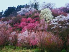 花見山2010年福島桜めぐり (花見山~三春滝桜~福聚寺~合戦場の桜)