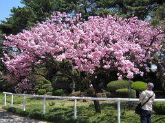 馬事公苑、「御車返しの桜」が満開