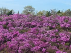 晴れの国 岡山(王子ケ岳~渋川動物公園の自生のツツジ群&ワラビ狩り)