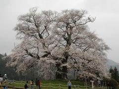 醍醐桜と3度目の逢瀬は曇り空