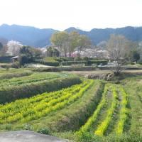 2011年春③ 明日香村