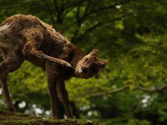 奈良で鹿サファリ!vol.2 壮観!若草山で鹿の群れに出会う