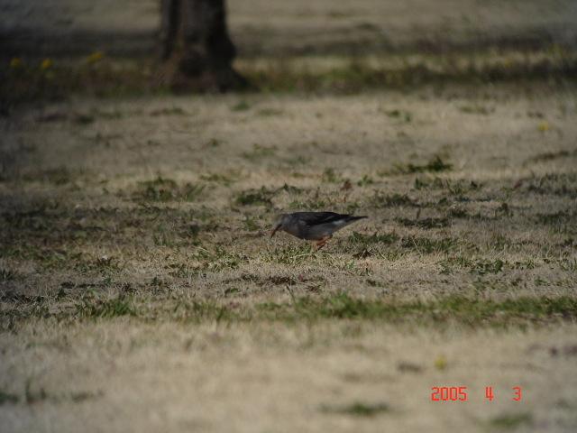 千葉市の昭和の森に、珍鳥ギンムクドリが出ているとの情報を戴き、見に行ってきました。<br /><br />表紙写真が珍鳥ギンムクドリです。<br /><br />※古い記録で恐縮ですが、今年も東京でギンムクドリが観察されているので、ギンムクドリの過去出現記録を紹介するのも意味があると思い掲載しました。御容赦下さい。<br /><br />※ 2016.11.10 位置情報登録