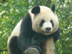 子供と一緒に上海でパンダに会おう&現地在住知人に会うマイル消化の旅