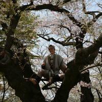 桜めぐり東北の旅 2011 3日目 (山形蔵王温泉~烏帽子山公園~米沢~猪苗代)